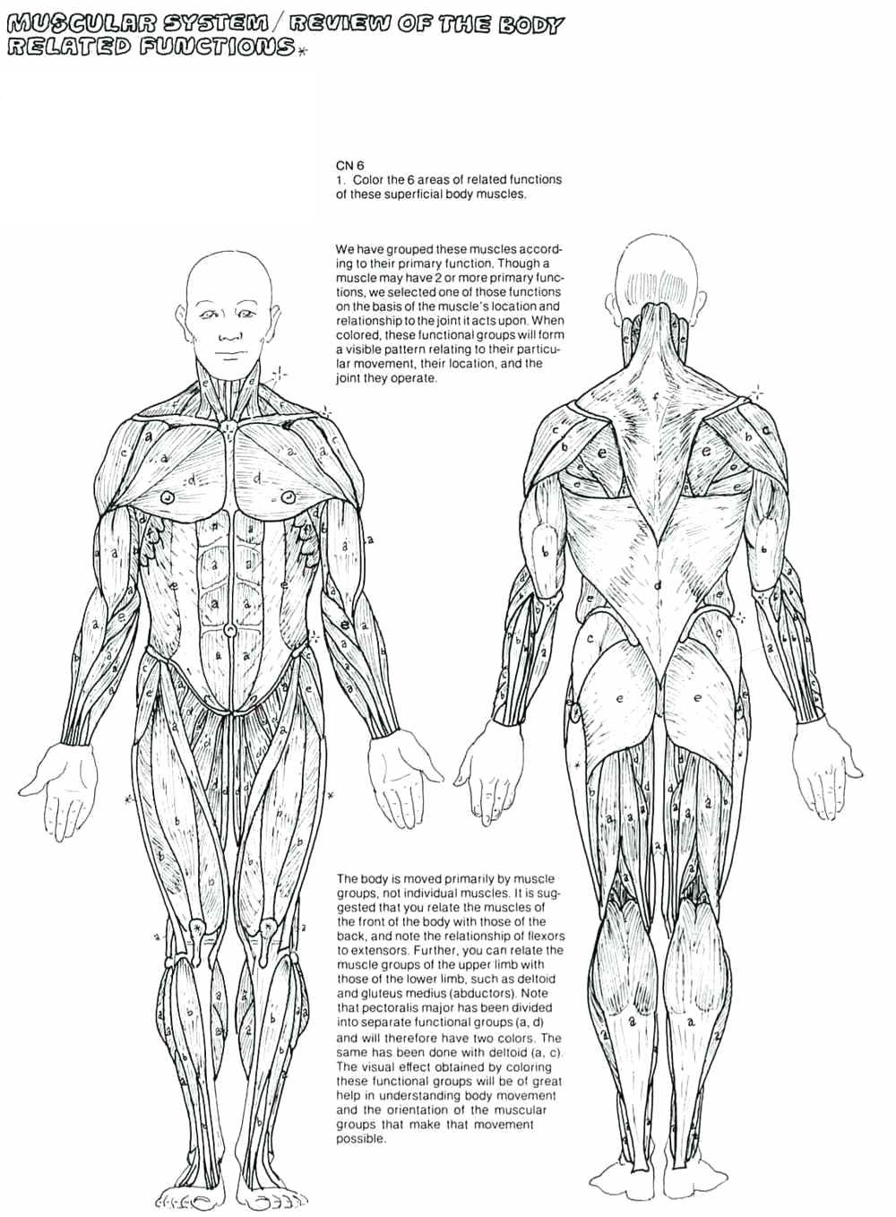 human muscles coloring key 5