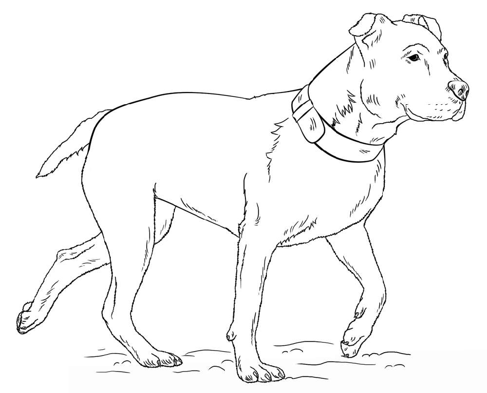 pitbull coloring pages walking