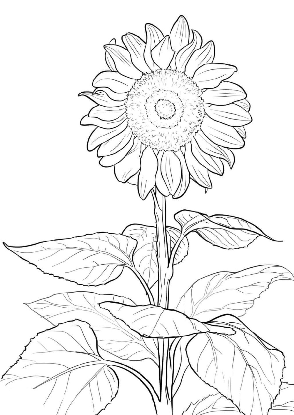 sunflower coloring page 3