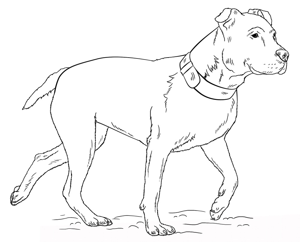Pitbull Coloring Pages Free