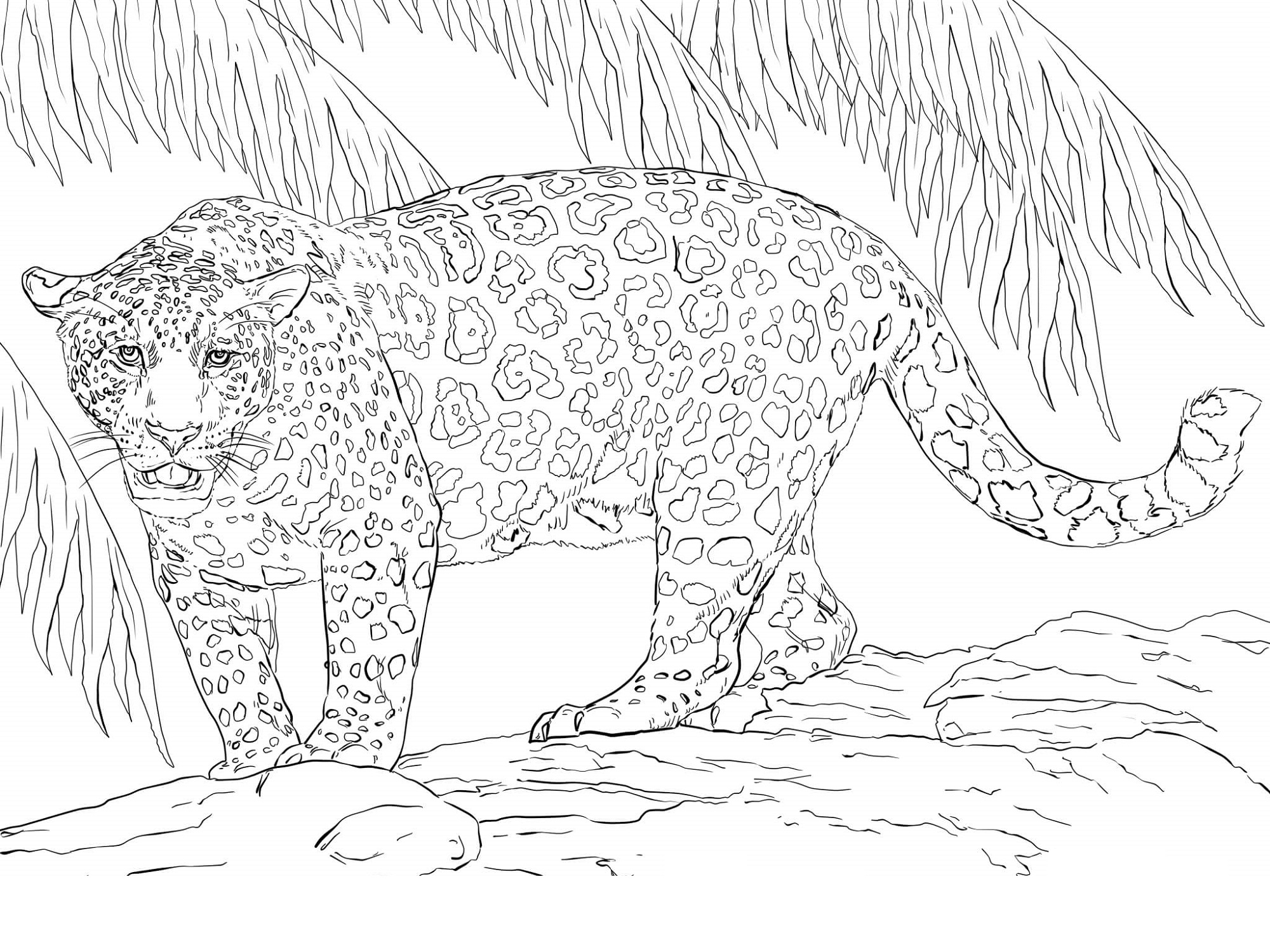Jaguar coloring pages four