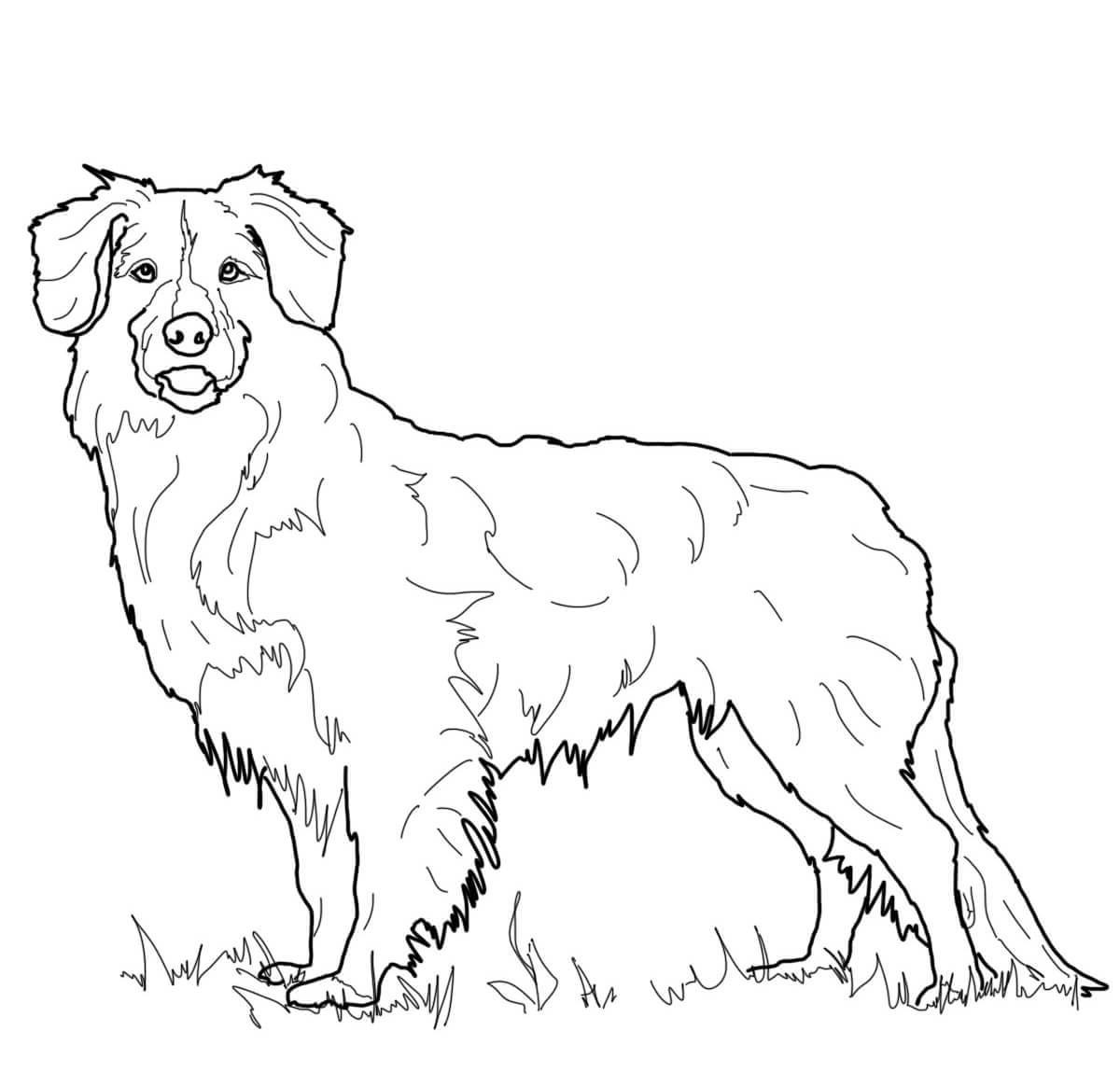 golden retriever coloring page 4
