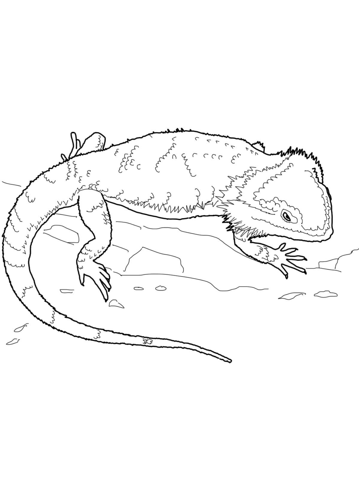 bearded dragon coloring page 1