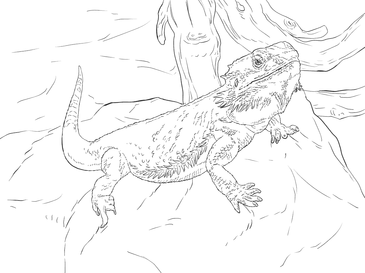bearded dragon coloring page 2