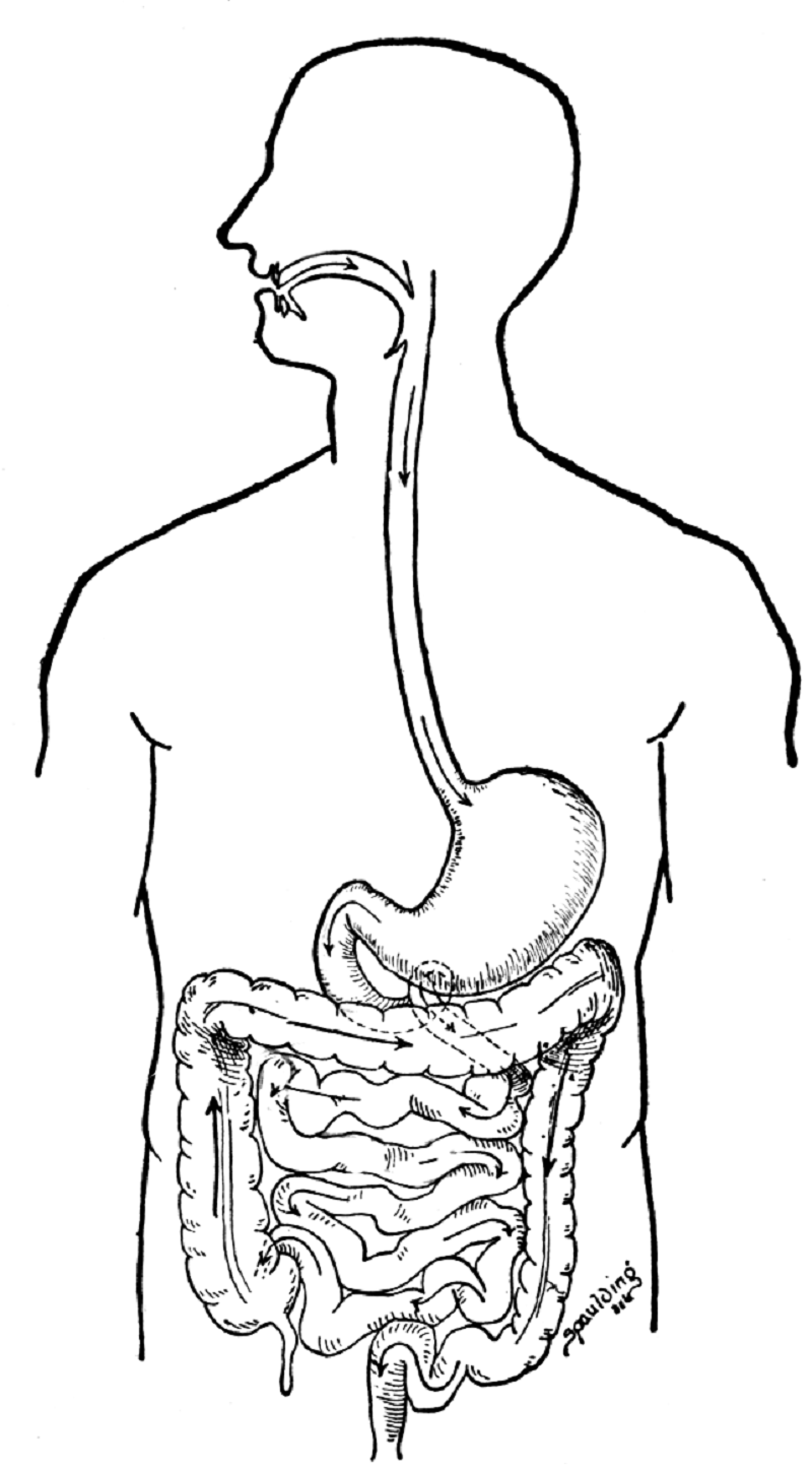 digestive system coloring page 1