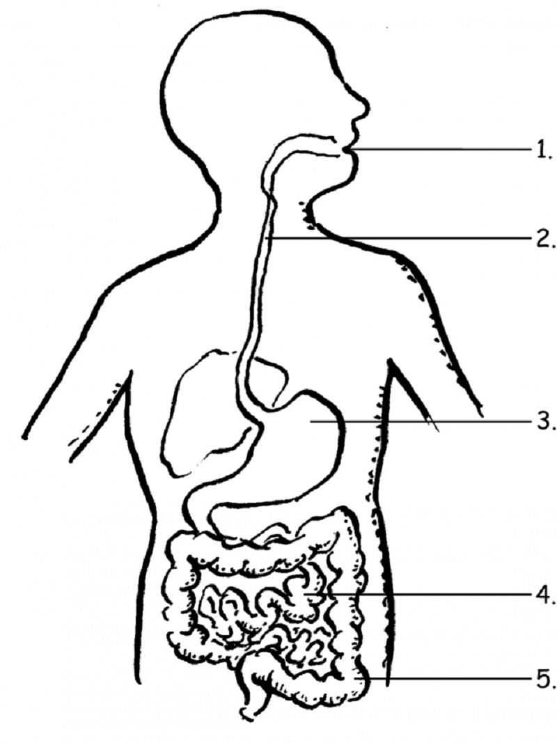 digestive system coloring page 3