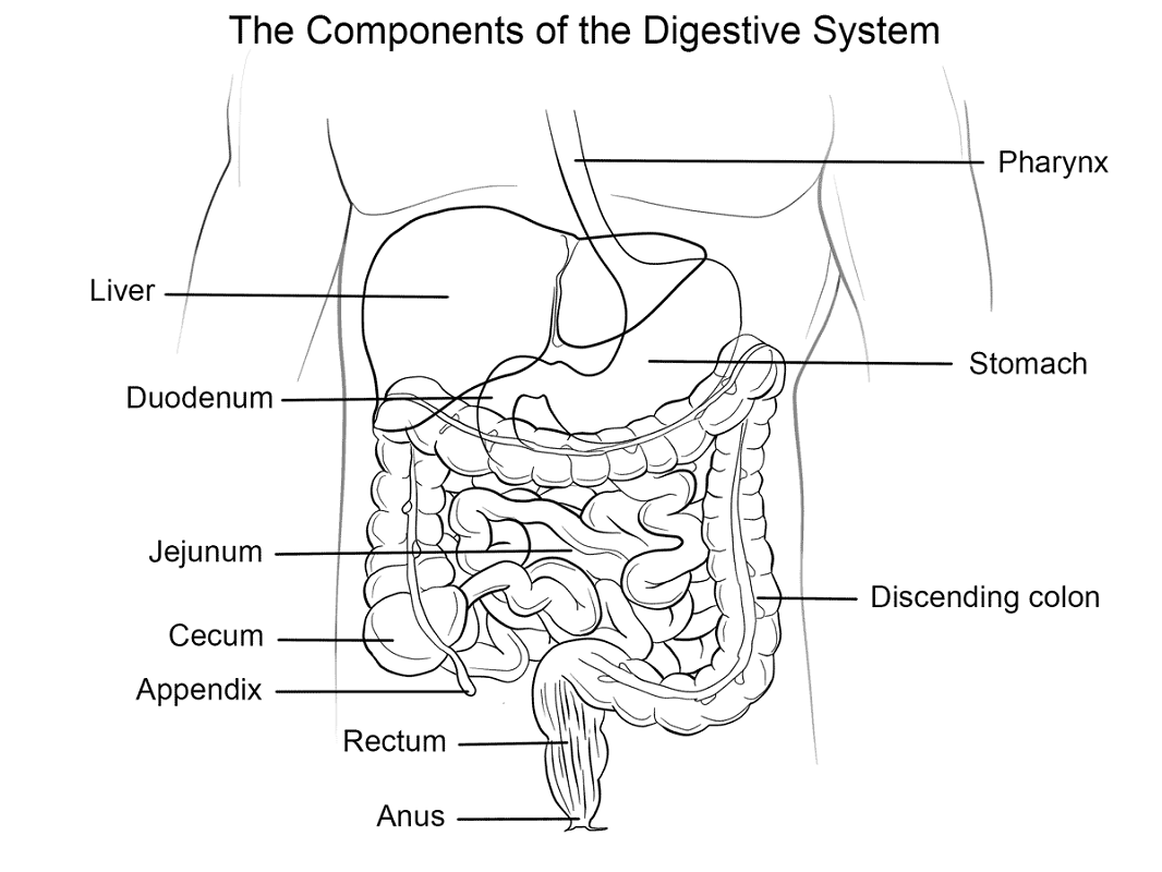 digestive system coloring page 4