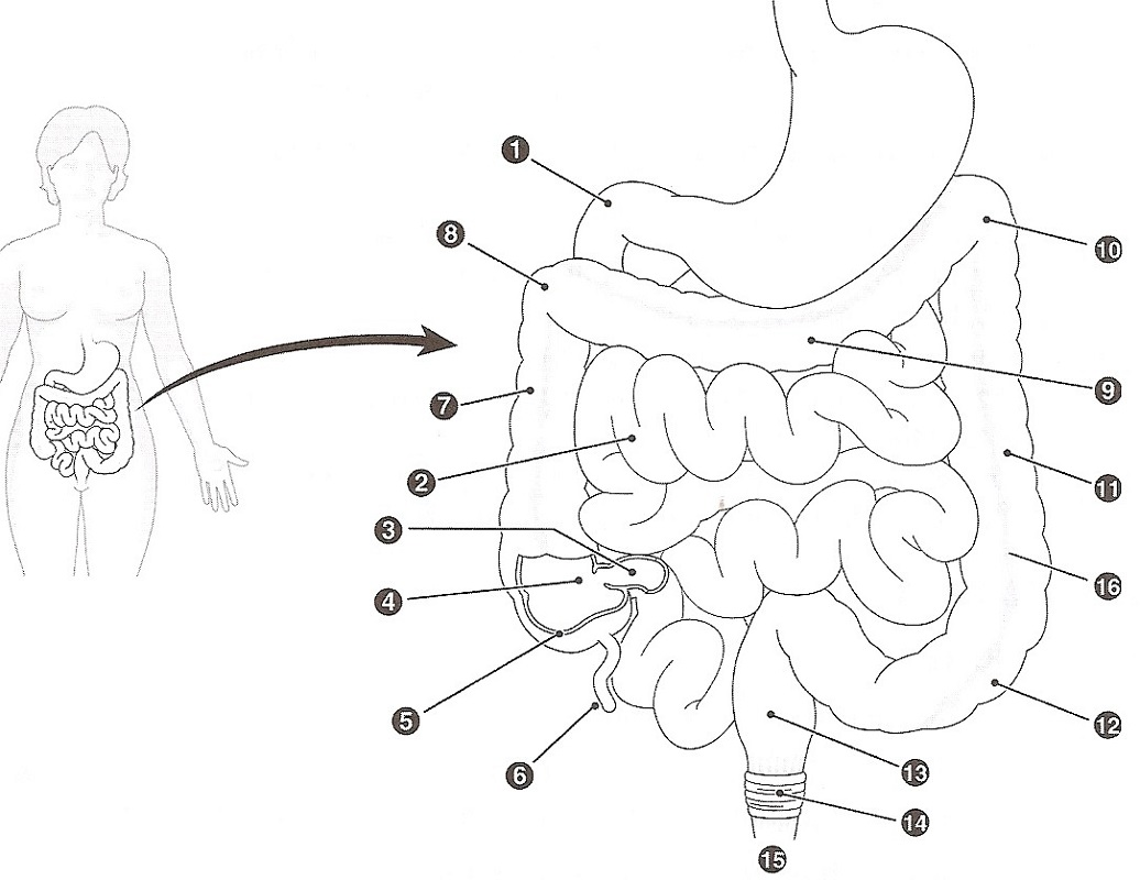 digestive system coloring page 5